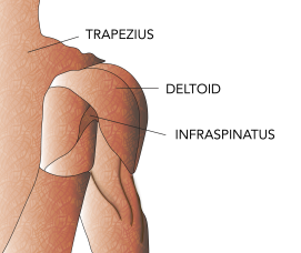 anatomy-shoulder-1-01